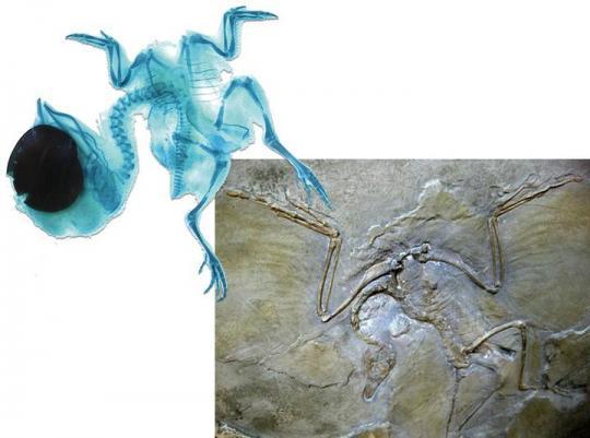 Tavuk Embriyosu ile Dinozor Fosili (Parmak ve kemik sayısı birebir aynı).  Bu bulgu, Science dergisinde 10 Şubat 2011'de yayınlanmıştır.