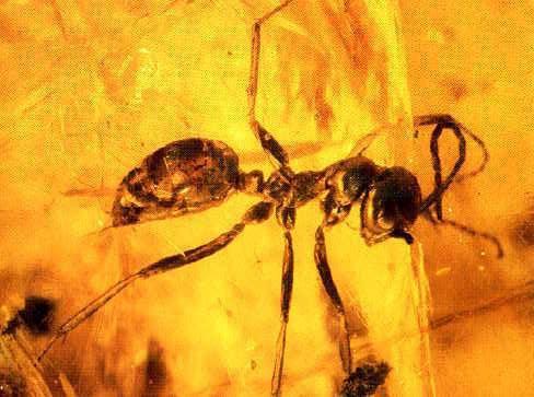 Sphecomyrma freyi