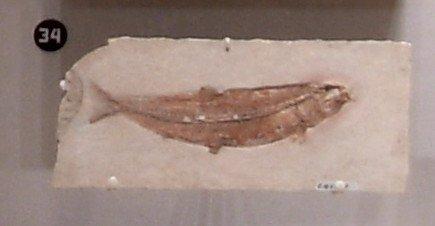 Leptolepis dubia