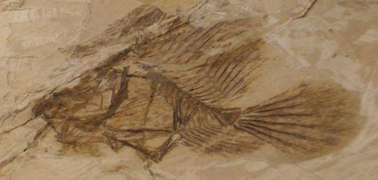 Histionotophorus