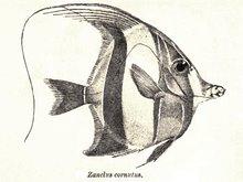 Eozanclus brevirhostris