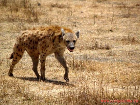 Hyaenidae üyesi bir tür