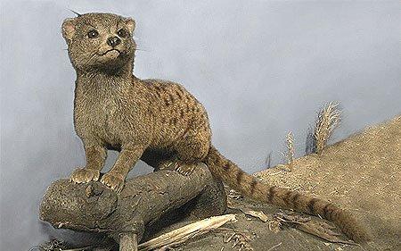 Nandiniidae üyesi bir tür