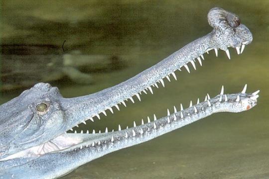 Yukarıda, günümüzde yaşayan tek Gavyal türü olan Gavialis gangeticus'un bir fotoğrafını görüyorsunuz.