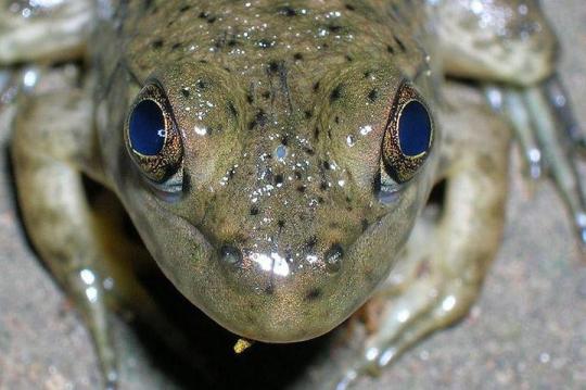 Yukarıdaki fotoğrafta görülen ergen bir boğakurbağasıdır. İki gözü arasındaki gri, oval noktacık, Üçüncü Göz'ün kalıntısıdır.