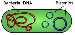 Görselde, sol tarafta bakterinin kendi DNA'sını, sağ tarafta ise plazmid DNA yapısını görmektesiniz.