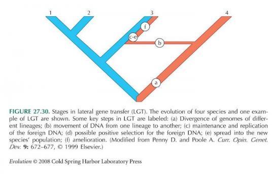 Yukarıdaki Evrim Ağacı'nda, normalde (a) ile işaretlenen dalda, genler dal boyunca atadan toruna aktarılmaktadır. Ancak (b) kısmında, bir plazmid aracılığıyla gen yatay olarak diğer dala ait, türleşme sonrası farklı bir tür olan bir canlıya aktarılmıştır. Normalde bu iki daldan bireyler birbiriyle çiftleşemezler; çünkü artık farklı türlerdir. Ancak yatay gen transferi, buna rağmen gen aktarımını sağlayabilir. Daha sonra da (c-e) ve (f) ile gösterilen kısım, binlerce yıl boyunca gerçekleşen seçilim sonucunda, eğer yeni genler bireylere fayda sağladıysa popülasyon içerisinde yayılır ve sabitlenirler. Değilse de elenerek yok olurlar.
