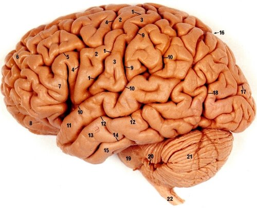 Beynimiz ve parçaları...