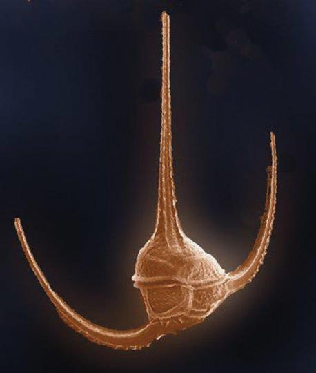Ceratium longipies (Dinoflagellate)