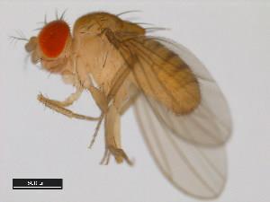 Drosophila paulistorum