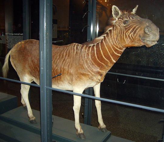 Equus quagga quagga (Quagga, Soyu tükendi)