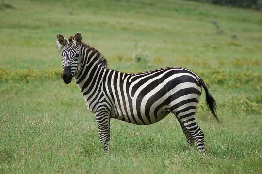 Equus quagga (Grant Zebrası)