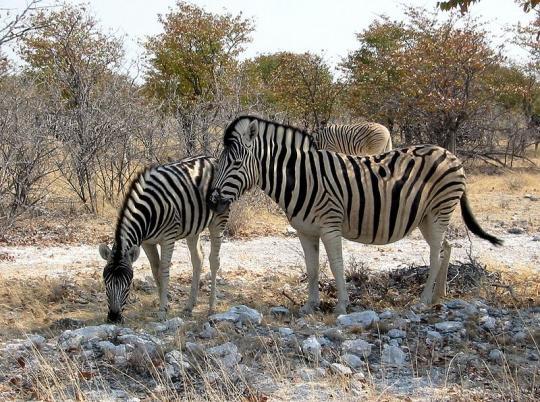Equus quagga burchellii (Burchell Zebrası)