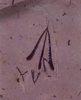 İnsan çizimini andıran, aslında sıradan fosiller olan graptolit fosillere bir örnek...