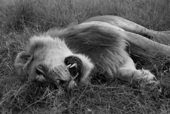 Ölü bir aslan...