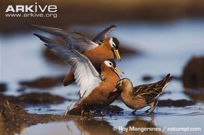 Phalaropus sp. türü dişi kuşlar (solda), erkek için (sağda) kavga ediyorlar.