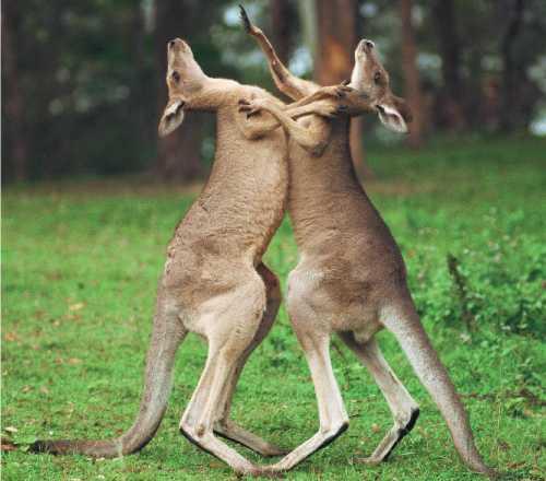 Kangurularda dişi mücadelesi