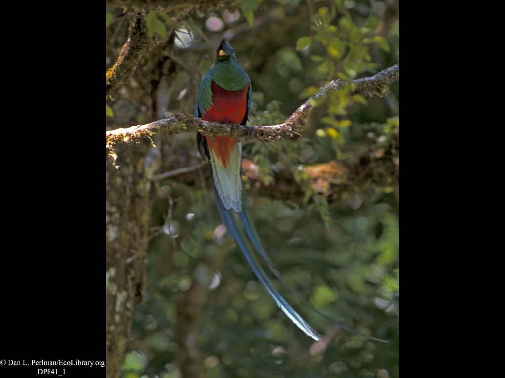 Euptilotis sp.türü erkek kuş