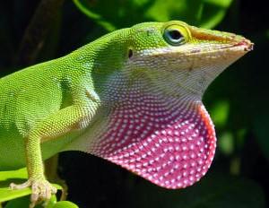 Kertenkelelerde erkeklerin şişebilir, parlak renkteki boğaz çıkıntıları... Kur yapımı sırasında bu keseciği şişirerek parlak renkleri ortaya çıkarırlar ve dişiler buna göre tercihlerini yapar.