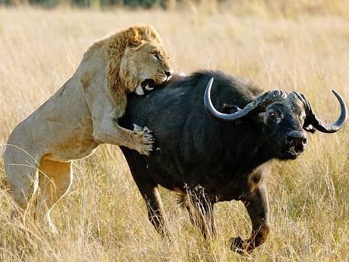 Doğal Seçilim'in en bariz örneklerinden birisi, aslanlar ile bizonlar arasındaki av-avcı ilişkisidir. Aslanlar hayatta kalabilmek için avlanmak, bizonlar hayatta kalabilmek için kaçmak zorundadırlar. Bu sebeple yüz binlerce yıl içerisinde iki türde de birçok farklı saldırı ve savunma yöntemi evrimleşmiştir. Bu mücadelede başarısız olanlar daima elenir.