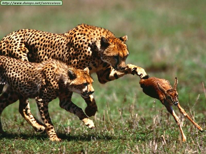 Benzer bir av-avcı ilişkisi de Acinonyx jubatustürü çitalar ile avları arasında bulunmaktadır. Doğa, acımasızdır. Yaş, tip, boyut ayırt etmeksizin başarısızlar elenir, başarılılar hayatta kalır ve ürer.