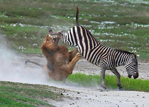 Kimi zaman avları tarafından çiftelenen, avlarının boynuzlarıyla yaralanan, hatta avlarının cesaret ederek avcılarına saldırması sonucu hasar gören ve ölen sayısız avcı bulunmaktadır. Bu fotoğraftaki gibi isabetli ve okkalı bir çifte, avcı aslanın haftalarca avlanamamasına ve ölmesine neden olabilir. Av açısından en kötü ihtimalle ise avcısından kurtulmasına neden olur. Avcı, yeterince hasar almadıysa bir başka ava yönelebilir (veya ölür) ve böylece zayıflar elenir (hem av, hem avcı açısından).
