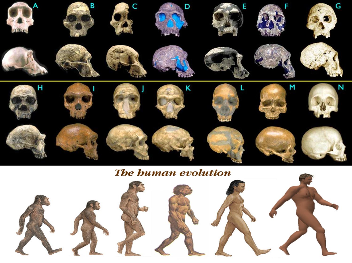 Bunun en güzel örneklerinden biri de, insan türünün evrimidir. Türümüz, av-avcı ilişkisinden etkilenerek evrimleşmiş olsa da, bugünkü halimizi alabilmemizin en büyük etmeni, değişen çevre koşullarıdır. Atalarımızın Afrika içerisindeki göçü sırasında değişen çevre, zincirleme olarak birçok özelliğimizin evrimleşmesini tetiklemiştir. Bu konuyla ilgili buraya tıklayarak çok daha fazla bilgi alabilirsiniz.