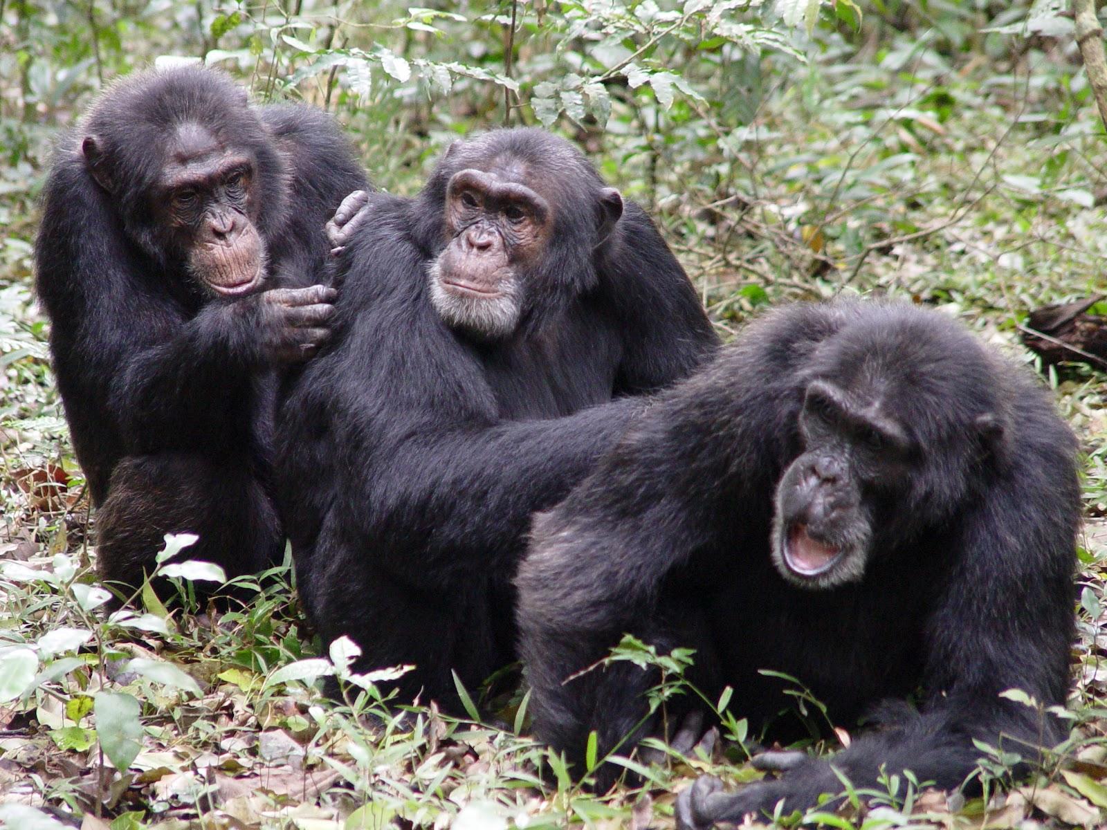 Şempanzeler birbirlerinin kıllarını temizliyor ve bitlerini ayıklıyor. Çoğu zaman bu davranış karşılıklı olsa da, kimi zaman tamamen fedakarca ve karşılık beklemeden de yapıldığı bilinmektedir.