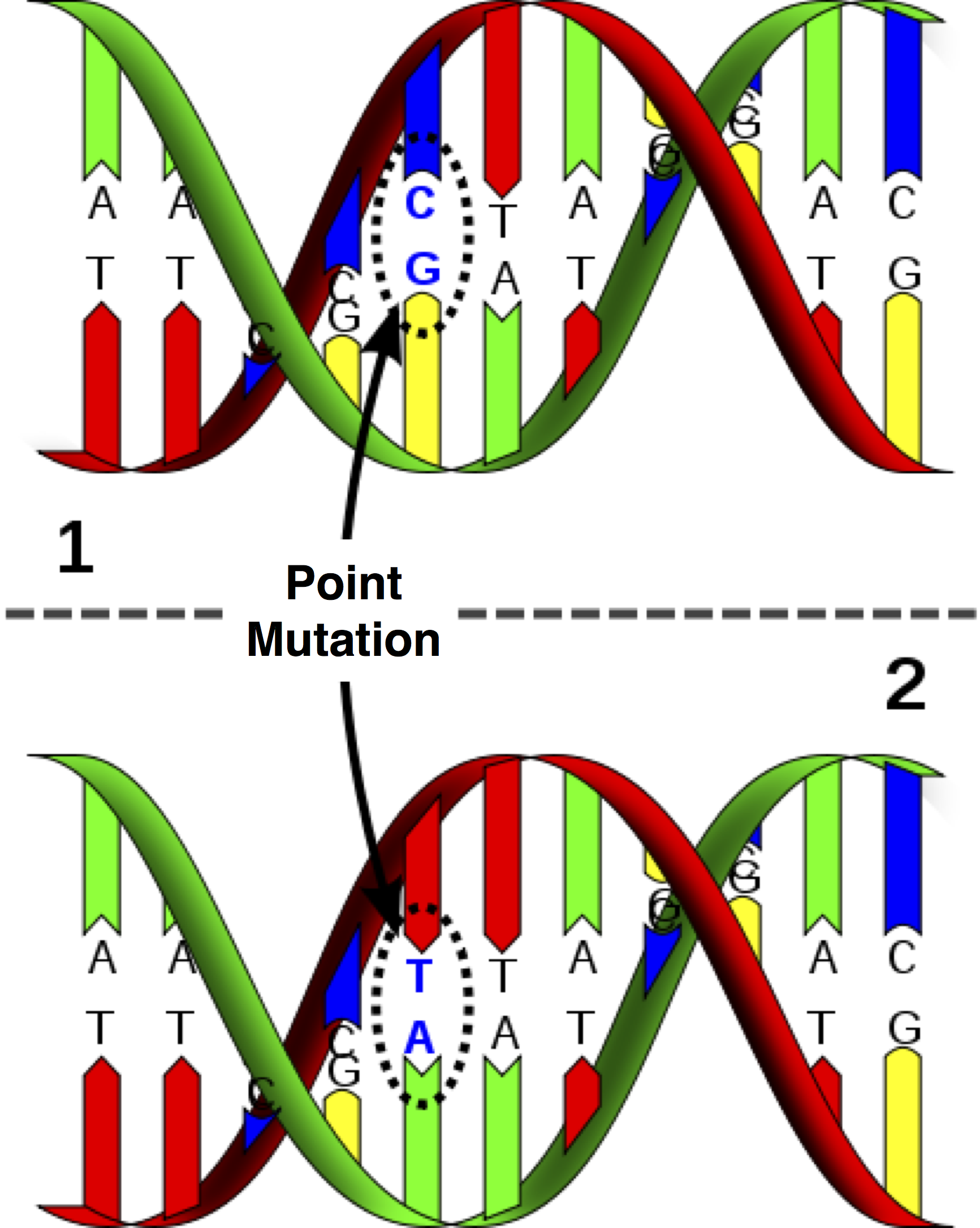 Nokta mutasyonun görsel örneği... Nükleotitin değiştiğine dikkat ediniz.
