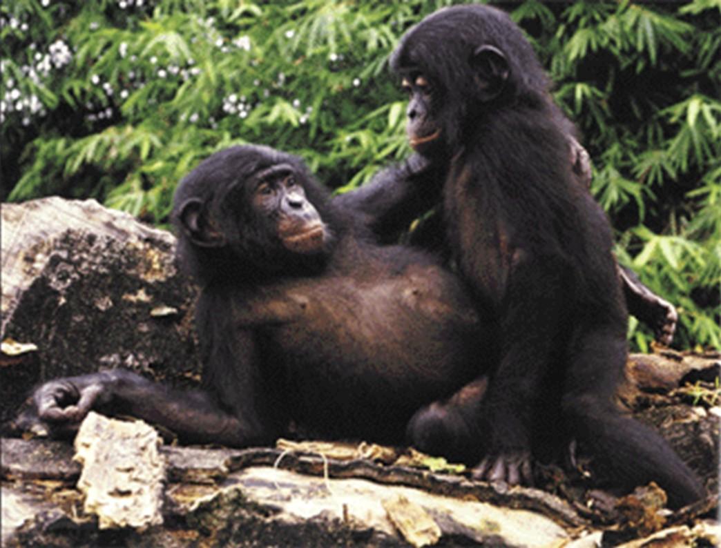 """Eşcinsel bonobo maymunları. Eşcinsel seks, daha teknik ifadesiyle """"üreme amaçlı olmayan cinsel faaliyet"""" bonobolarda çok sık görülmektedir. Bu tür seks, popülasyon içerisindeki gerilimi azaltmak ve stres atmak için yapılır."""