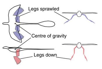 Microraptor'un farklı duruşları