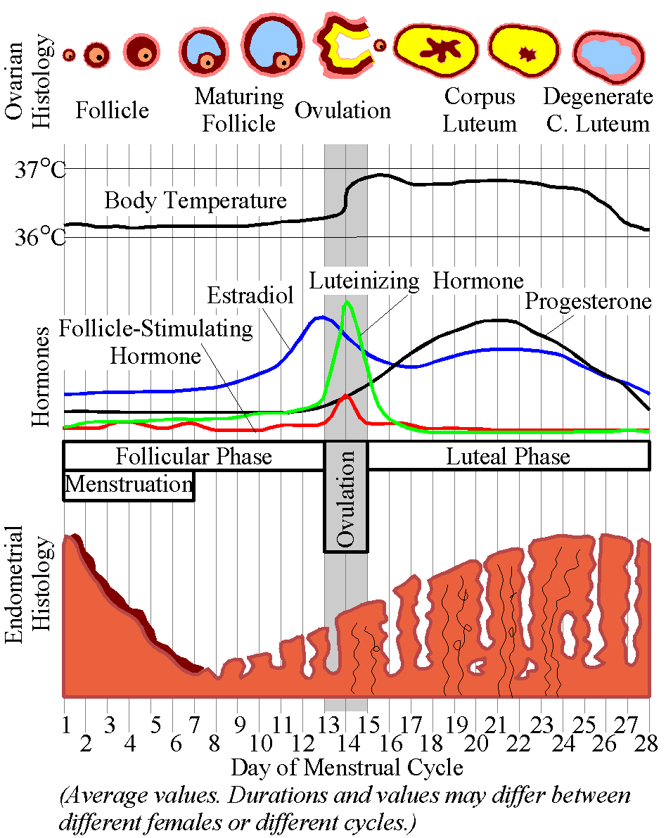 İnsanlarda menstrüal döngü yaklaşık olarak 28.9 gün sürer ve bunun evrimsel süreçte Ay döngüsü ile paralel olarak evrimleştiği düşünülmektedir (bu ayrı bir tartışma konusudur). Ancak bu araştırmalar açısından önemli olan, sürü içerisindeki bireylerin adet döngüsü başlangıcıdır. Zira bireylerin adet döngüsü her ayın 1'inde başlayıp 30'unda bitmemektedir. Kimisinin 3'ünde, kimisinin 12'sinde, kimisinin 26'sında, vs. başlamaktadır ve bunların senkronizasyonu önemlidir.