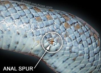 Körelmiş bir yılan bacağı (anal mahmuz)