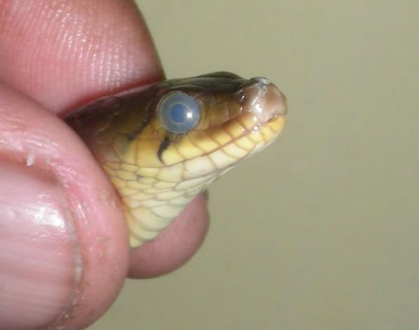 Yılanlarda görülen bril yapısı: gözü kaplayan koruyucu ve hareketsiz kılıf