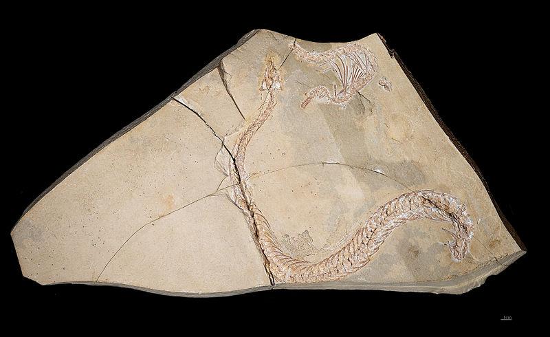 Eupodophis