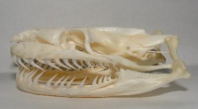 Aglifus yılan anatomisi