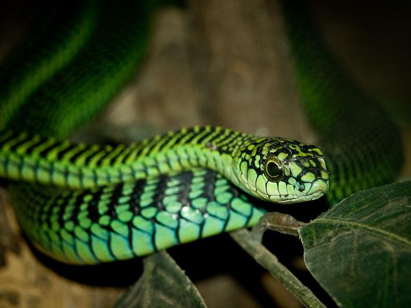 Ofistoglif tipi yılanların zehrini ciddiye almaması sebebiyle ölen herpetolog Karl Schmidt'i ısıran ağaç yılanı türünden bir birey...