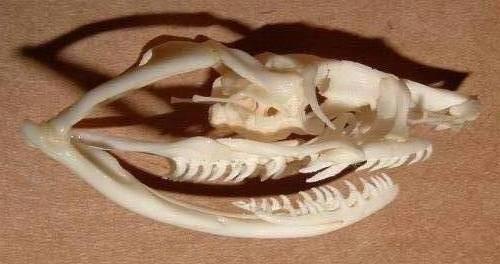 Ofistoglif tipi yılanların kafatası anatomisi...