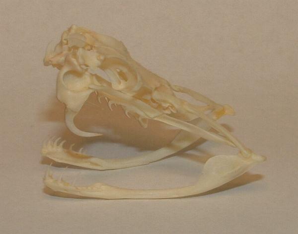 Solenoglif tipi yılanların ağız ve kafa anatomisi...