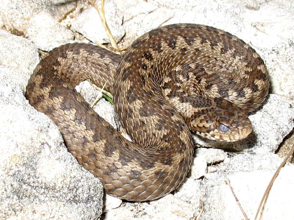 Vipera (Acridophaga) anatolica (Anadolu Engereği)
