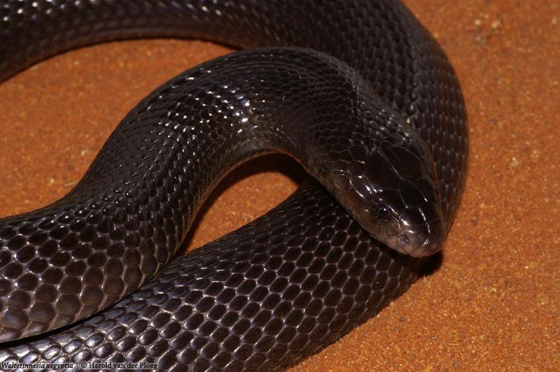 Walterinnesia morgani (Çöl Siyah Kobrası)