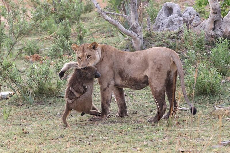 Aslanlar dişi bir babunu avlıyorlar. Anneye sarılan yavru görülüyor.