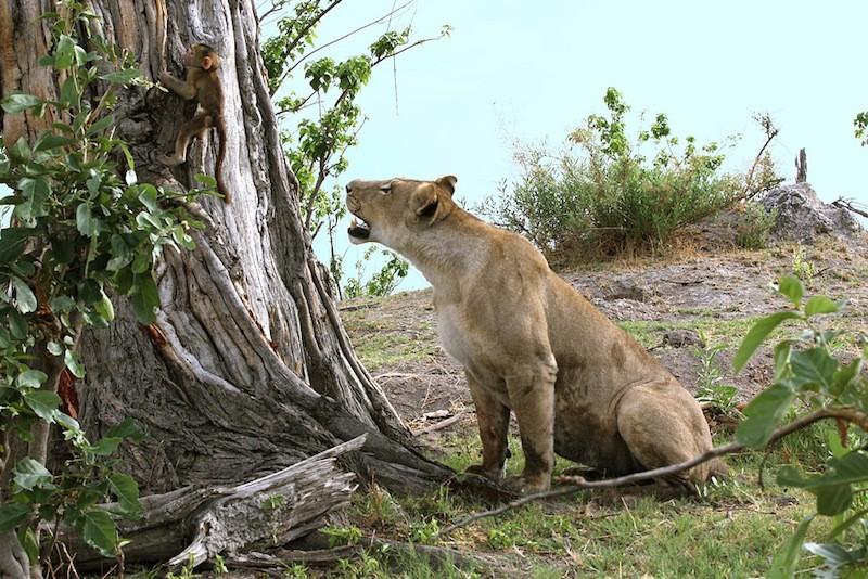 Yavru ağaca tırmanmayı deniyor; ancak çok güçsüz.