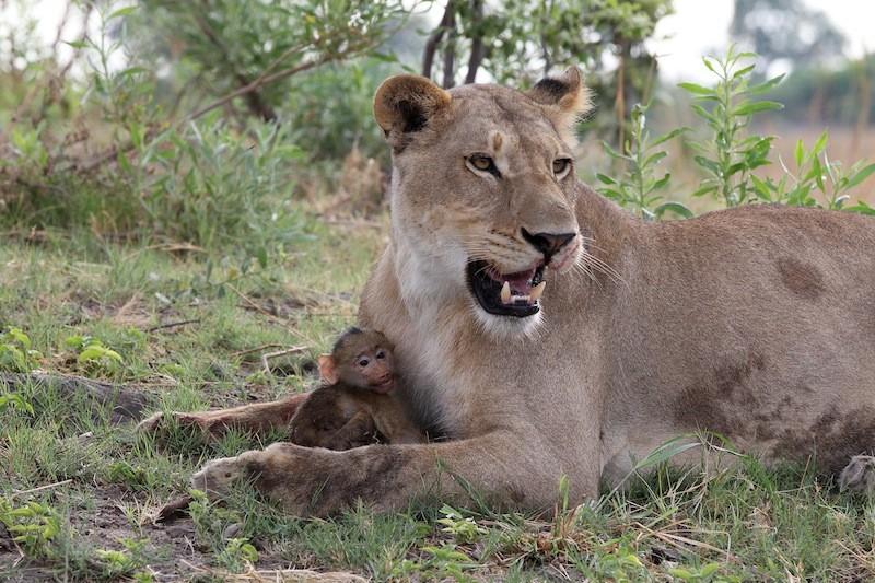 Dişi aslan, yavruyu alarak pençeleri arasında tutuyor.