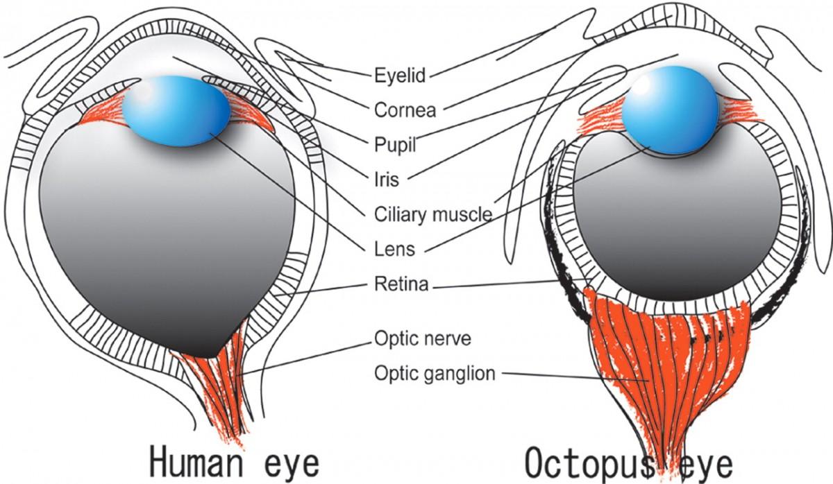 Farklı organizmalarda farklı göz yapıları...