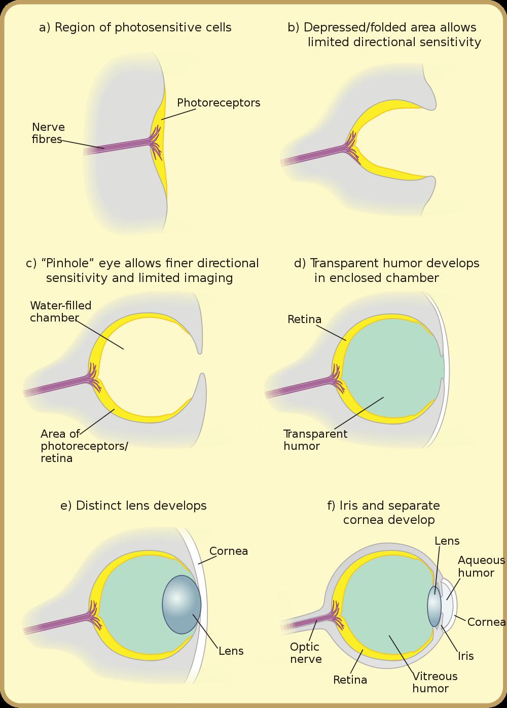 Gözün kademeli evrimini gösteren bir şema...