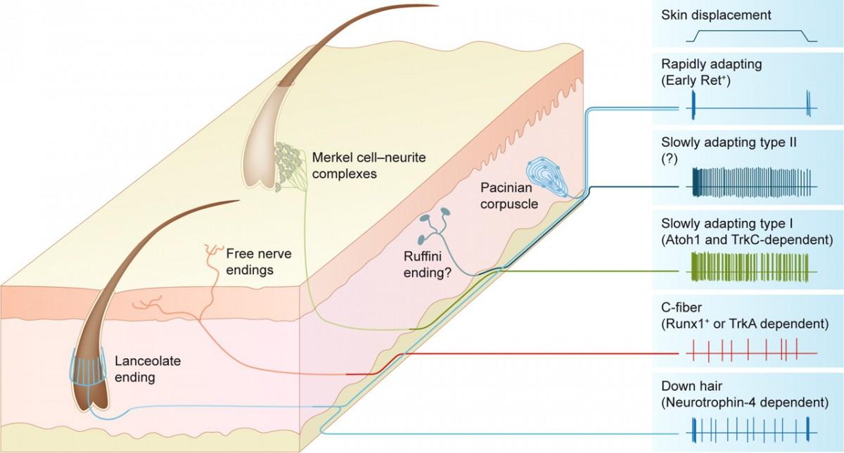 Dokunma algımızı sağlayan reseptör türleri...