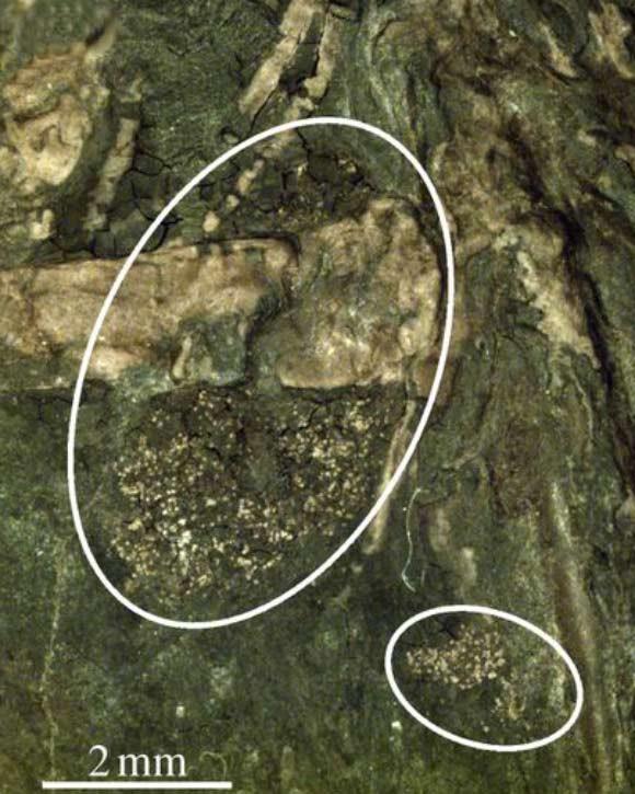 Türün midesinden çıkarılan fosilleşmiş polen tanecikleri gösteriliyor.