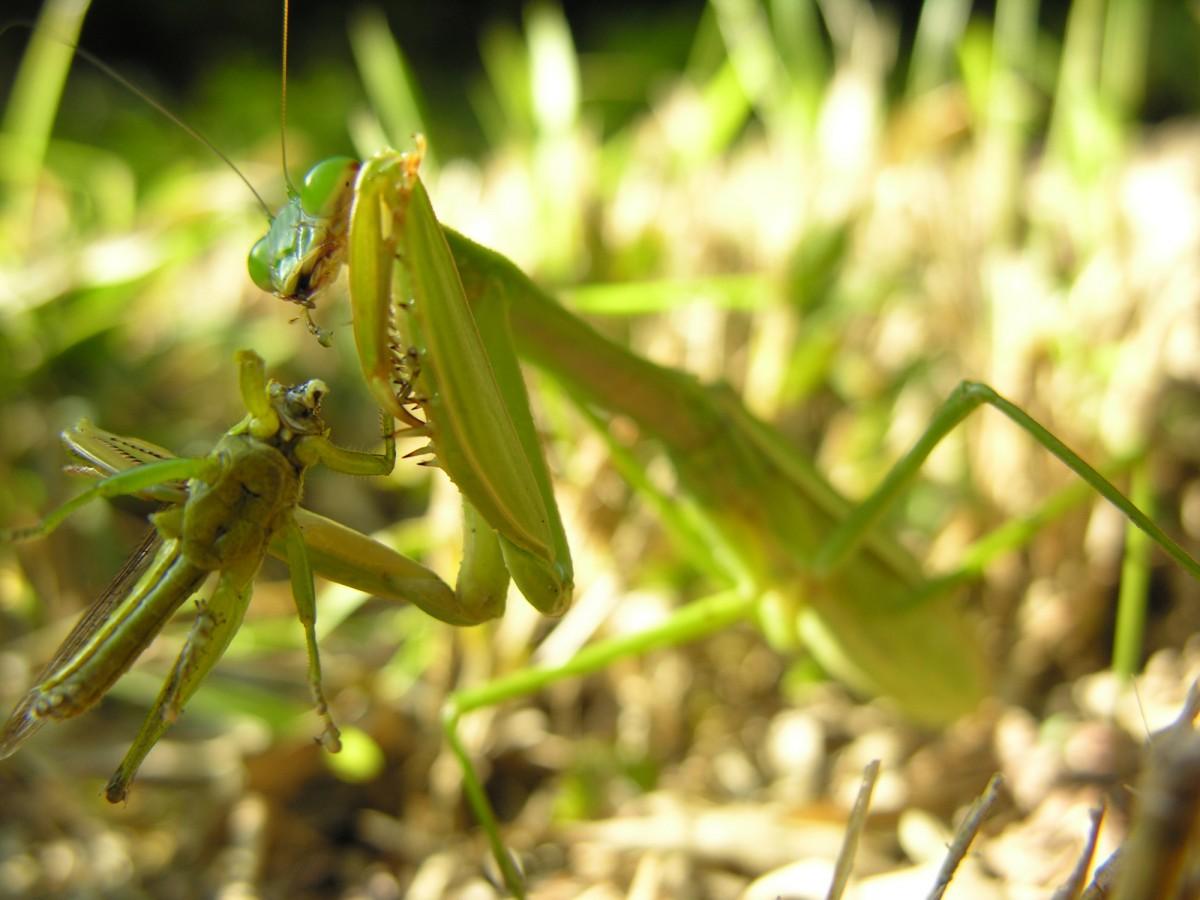Mantisin avladığı bir çekirge... Kaynak:Wikimedia Commons