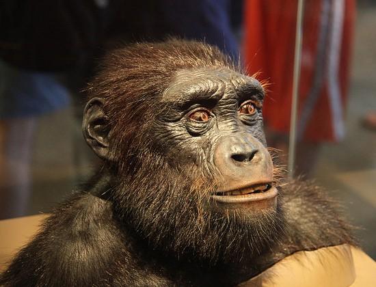İnsan ile şempanzelerin son ortak atası olduğu düşünülen Orrorin tugenensis türünün bir rekonstrüksiyonu. Burada da, artık 6 milyon yıl öncesine sıçradığımız için, ciddi fiziksel farklılıkları görmek mümkündür. Ancak eğer ki başından beri yaptığımız gibi ufak adımlarla takip edecek olsaydık, bu farklılıkların gelişimini gözlemlememiz de mümkün olacaktı. Tabii ki, birer nesil geriye giderek değişimleri anlatacak olsaydık (ki her bir basamağı bilmek imkansızdır, evrimin eksiksiz bir resmi elimizde bulunmamaktadır), 200.000 nesli anlatmak için ayrı bir site kurmamız gerekirdi. Fakat görülebileceği gibi bu canlılar da, halen insanı oldukça andırmaktadır, milyonlarca yıl geriye gitmiş olmamıza rağmen. Fakat bu canlıyı özel kılan, evrimsel süreçte bu canlının popülasyonlarından ayrılacak iki daldan birinin şempanze ve bonobolara, diğerinin ise bize gelecek olmasıdır. Biz, bu canlıya, kendi soy hattımızı geriye doğru takip ederek ulaştık. Artık bu canlıda, ilk halen yaşayan kuzenlerimiz olan şempanzelerle soy hattımız birleşmektedir. Yani tıpkı bizden de, kuzenlerimizden de yola çıktığımızda büyük ailemizde buluşmamız gibi; bizden de, şempanzelerden de yola çıktığımızda, bu canlıda buluşmamız mümkündür. İşte bu yüzden bu canlılara ortak ata adı verilir.